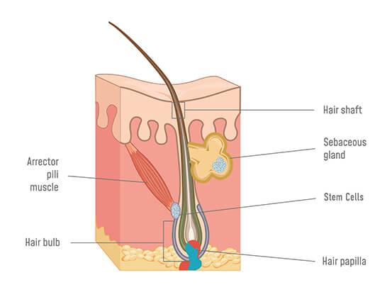 Hair Bulb Anatomy